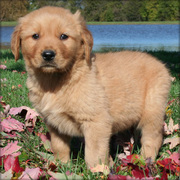 Akc Registered Golden Retriever Puppies For Sale