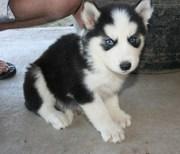 Gorgeous Siberian huskies