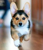 female corgi puppy for sale