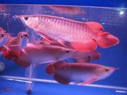 Arowana had the form as well as the pretty for sale.