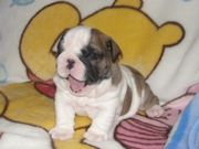 English Bull  puppies for adoption