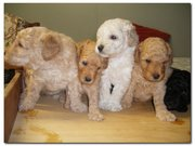 POODLE PUPPIES - PURE BRED