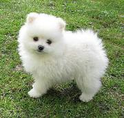 Beautiful Pomeranian puppies for rehoming