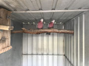 Galahs,  breeding pair,