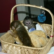 Male and female baby Capuchin Monkeys.