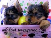 two akc yorkie babies