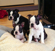 Purebred Boston Terrier Puppies