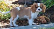 female cavalier king charles puppy for sale