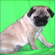Pug puppy for sale now